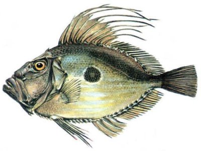 Riba kovač