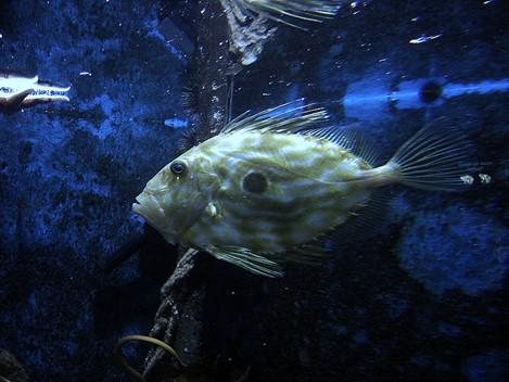 Kako riba kovač štiti jadranske ribe